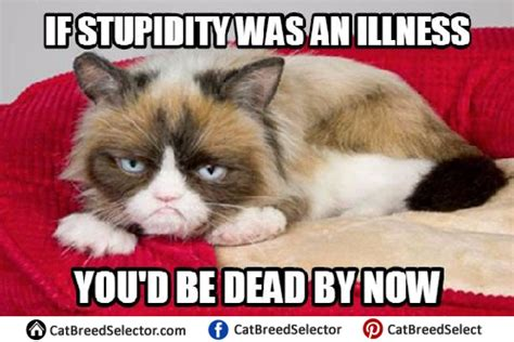 Best Of Grumpy Cat Meme - grumpy cat memes cat breed selector