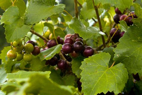 care of muscadine grapevines tips for growing muscadine