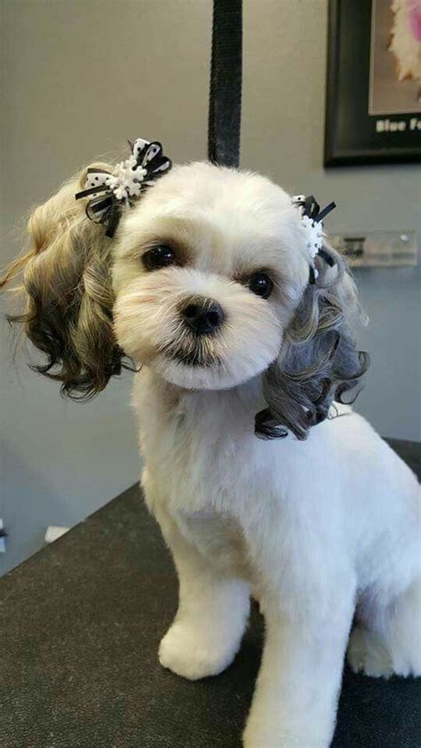 hair cut shih tzu snd poodle i would love to be able to groom miss joee just like this
