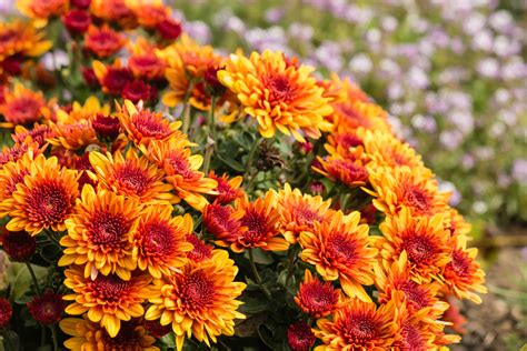 can fall mums survive frost the best fall flowers veggies to plant in kansas city