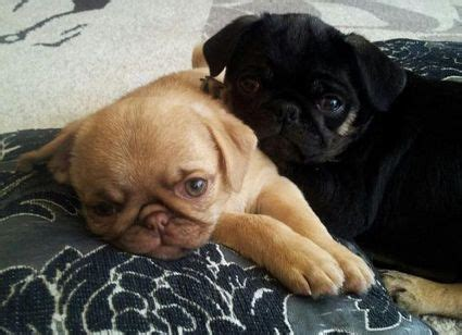 pugs colours 17 best images about pug in strange colors on puppy names puppys and colors