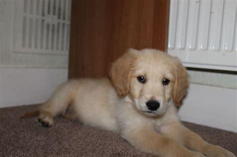 ebay golden retriever golden retriever puppy for sale