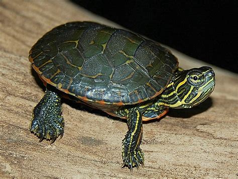 western painted turtles for sale from the turtle source