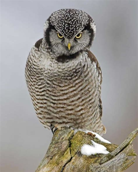 L Owl by Northern Hawk Owl Audubon Field Guide