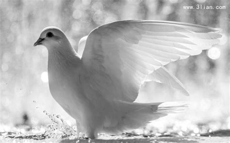 和平的使者 鸽子图片