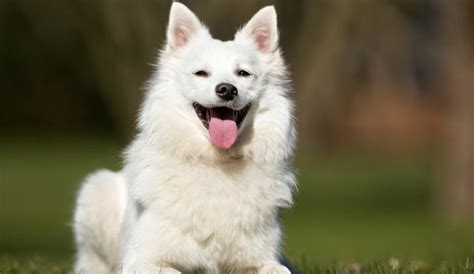 how much do samoyed puppies cost the price of a pooch how much does a samoyed cost herepup