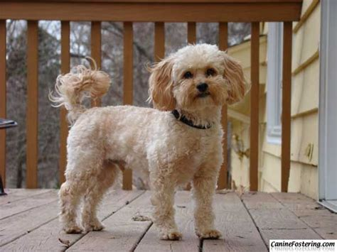 shih tzu poodle mix haircut 22 best toby haircut ideas images on