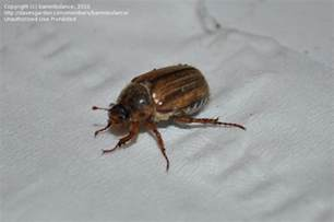 Garden Pest Identifier - insect and spider identification closed unknown large flying beetle 1 by bammbulance