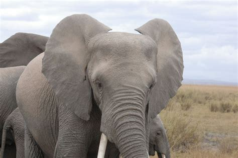 10 fascinating facts about elephants africa geographic