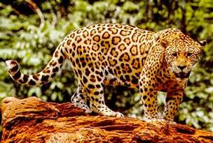 Jaguar Costa Rica Jaguars