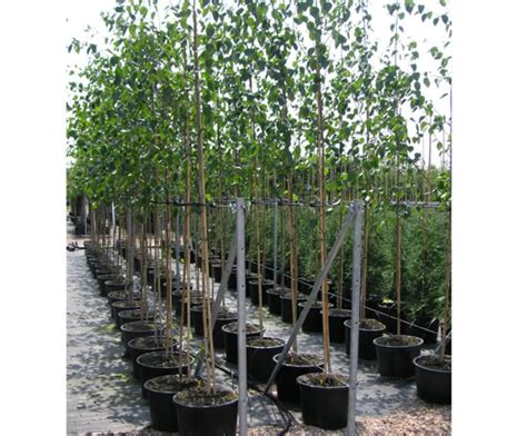 tree container container grown trees coles nurseries esi
