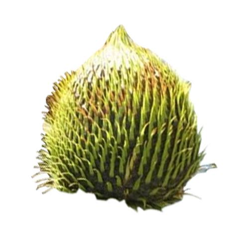 monkey puzzle tree fruit nuts and seeds veggies info