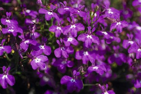 lobelia erinus magadi basket dark purple lucas greenhouses