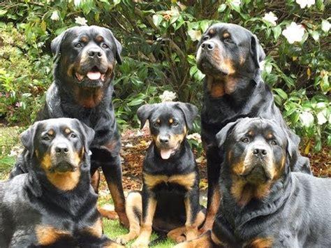 17 week rottweiler lara s diaries part 8 17 week puppy being trained rottweiler