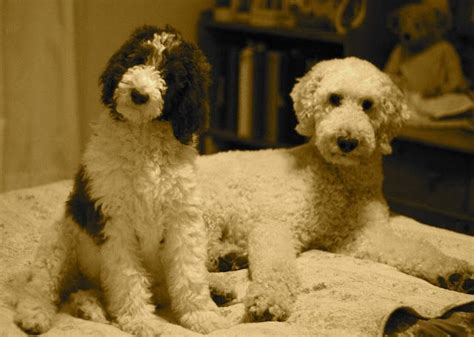 parti poodle lifespan 31 best my pearl and oreo images on