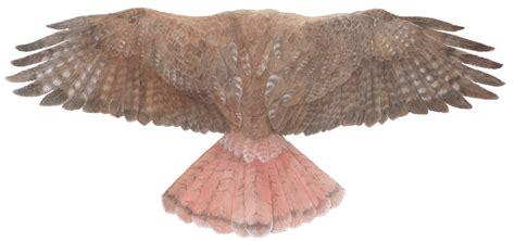wings i raptor chuck todd artist