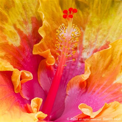 yellow quot hibiscus rosa sinensis quot and red quot hibiscus hibiscus rosa sinensis flower the path