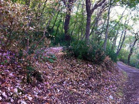 trucco prato fiorito ciclamini nel bosco foto di bosco di san francesco