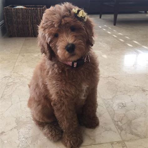 buy goldendoodle puppies 25 best ideas about goldendoodle on golden doodles golden doodle