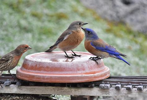 a rosy finch checking out two bluebirds water source