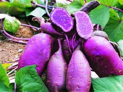cara mudah menanam ubi atau ketela rambat petani top