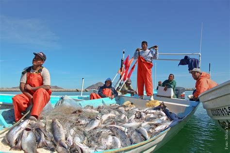 Revitalizing the Mexican Corvina Fishery with Sustainable ...