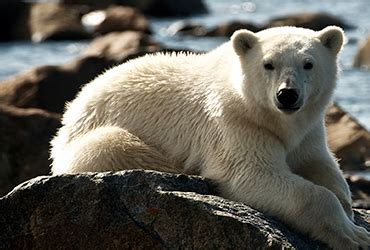 churchill canada polar bear tours lazy bear expeditions