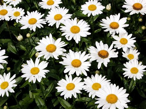 daisy facts shasta daisy flowers information on how to grow shasta daisy