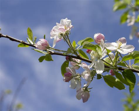 apple tree branch in bloom wallpaper flower wallpapers 2677