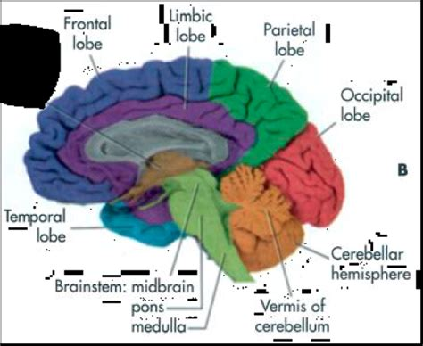 the human frontal lobes third edition functions and disorders science and practice of neuropsychology books frontal lobe anatomy