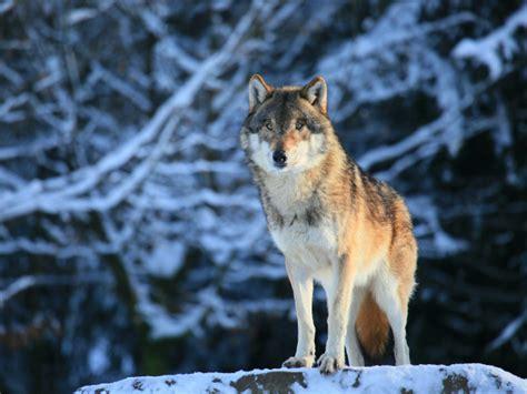 minicuentos de lobos y lobos y perros informacion sobre animales