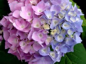 hydrangea colors coffee grounds 34 ways coffee grounds can make your better