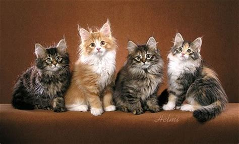 Colors Cat pictures of cats and kittens to color pictures of