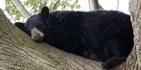 imagenes oso negro oso negro americano descansando im 225 genes y fotos