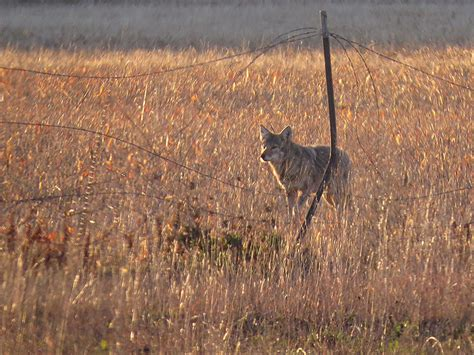 coyote a brief encounter dfw urban wildlife