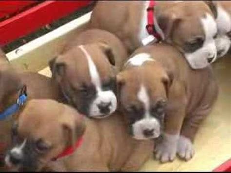 free boxer puppies in michigan boxer puppies for sale in pa