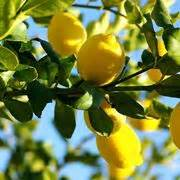 potare un limone in vaso limone in vaso potatura coltivazione limone in vaso