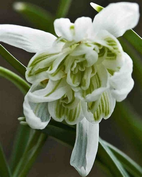 snowdrop bulbs for sale buy your snowdrop bulbs online