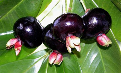 Tanaman Black Grumichama fruit glossary 171 eyesteelfilm
