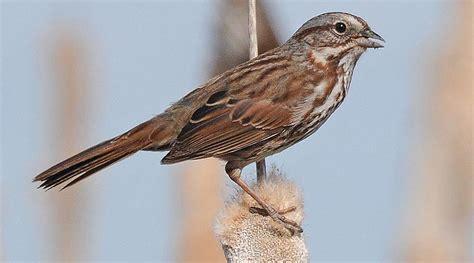 song sparrow migrants in central california