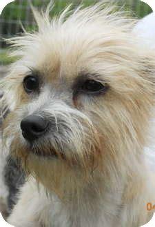 cairn terrier golden retriever mix cairn terrier mix adoption photo