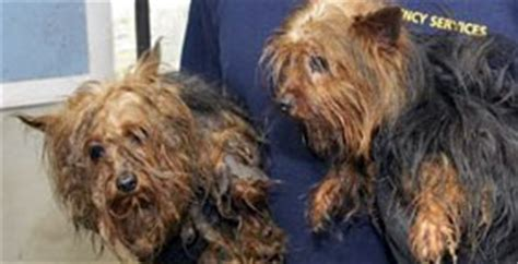 yorkie rescue arkansas battling to breed better laws 183 a humane nation