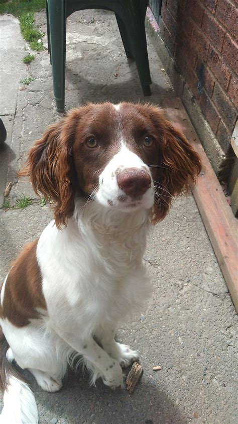 spaniel puppies for adoption springer spaniel for adoption wrexham wrexham pets4homes