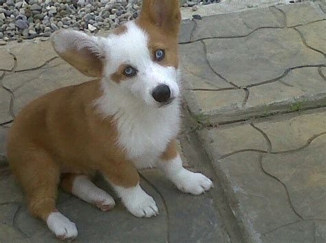 corgi aussie mix puppies 17 best images about pretty dogs on lab mixes border collies and corgis