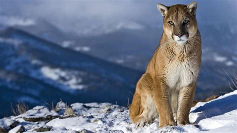 mountain lion animal desktop wallpaper
