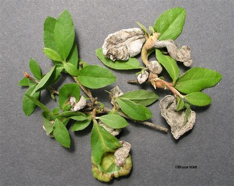 Integrated Disease Management In Plants - azalea leaf gall signs amp symptoms umaine cooperative extension insect pests ticks and