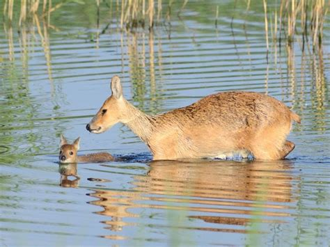 Liquid Folkdeer zwemles water deer hydropotes inermis animals forests babies and
