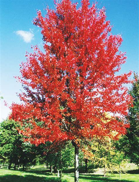 maple tree width autumn blaze maple fort wayne trees