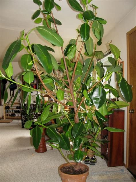 best indoor tree 156 best images about ficus elastica on pinterest trees
