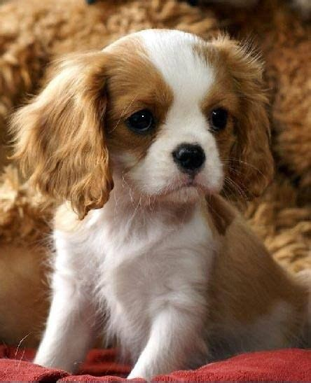 king cavalier spaniel puppy 25 best ideas about king charles on king